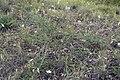 Acacia pravissima 1.jpg