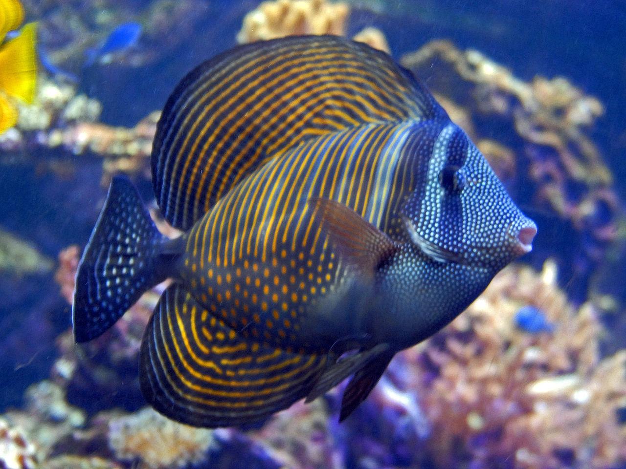 Aquarium de 840 litres recifal, les différentes étapes d'installation 1280px-Acanthuridae_-_Zebrasoma_desjardinii