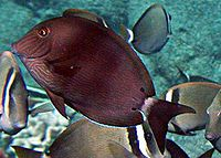 Acanthurus nigroris by NPS