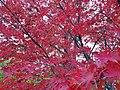 Acer Palmatum du jardin botanique de Marseille.jpg