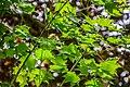 Acer cappadocicum in Eastwoodhill Arboretum (2).jpg