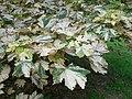 Acer pseudoplatanus Nizetii 2017-06-25 3000.jpg