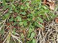 Acetosella vulgaris plant8 (11507986003).jpg