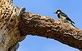 Acorn woodpecker on granary tree-7270.jpg