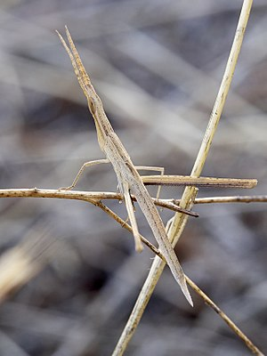 A well camouflaged acrida ungarica, a kind of a grasshopper, found in Greece.