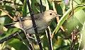 Acrocephalus scirpaceus (Acrocephalidae) (Eurasian Reed Warbler), Vlieland, the Netherlands.jpg