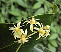 Acronychia pedunculata flowers 04.JPG