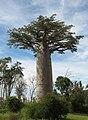 Adansonia grandidieri 01.jpg