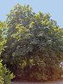 Aesculus hippocastanum11.JPEG