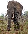 African Elephant (Loxodonta africana) bull (33210242781).jpg