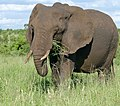 African Elephant (Loxodonta africana) female ... (46730998134).jpg