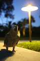 African Grey Parrot at night.png