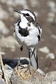 African Pied Wagtail, Motacilla aguimp in Kruger National Park (19699661603).jpg