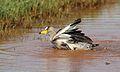 African Wattled Lapwing or Senegal Wattled Plover, Vanellus senegallus at Krugersdorp Game Reserve, Gauteng, South Africa (30767804863).jpg