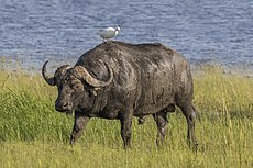 African buffalo (Syncerus caffer caffer) male with cattle egret.jpg