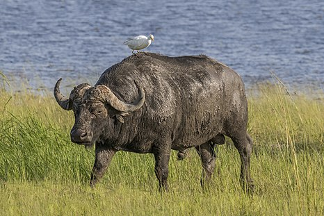African buffalo (Syncerus caffer caffer) male with cattle egret
