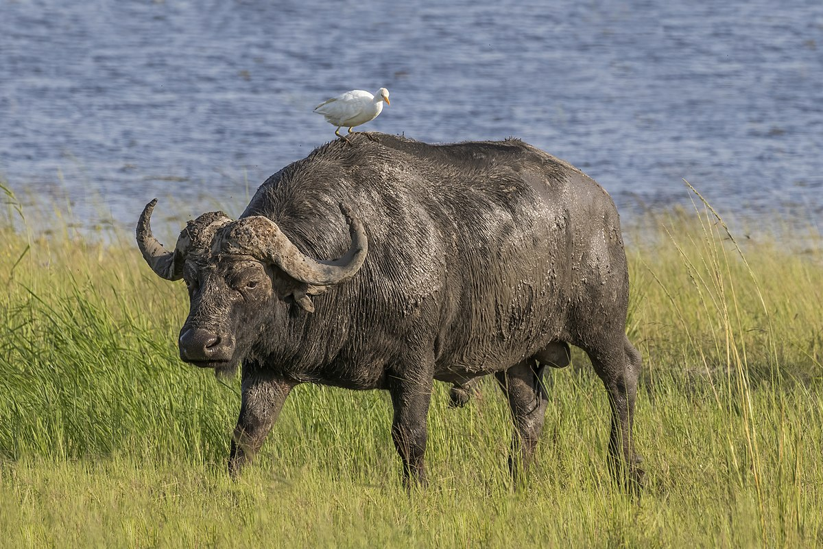 A Bison Eats African buffalo...