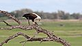 African fish eagle, Haliaeetus vocifer, at Chobe National Park, Botswana (32832143653).jpg