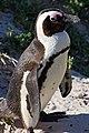 African penguin - sb616.JPG