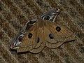 Aglia tau ♀ - Tau Emperor (female) - Павлиноглазка рыжая (самка) (41233983671).jpg