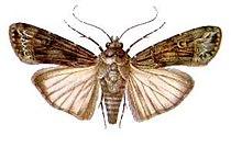 Agrotis ipsilon (ento-csiro-au).jpg