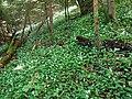 Ail des ours @ Sentier dans la forêt @ Annecy-le-Vieux (51040189941).jpg