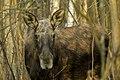 Alces alces 22(js), Biebrza National Park (Poland).jpg