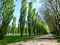 Allée de peupliers parc de Sceaux.JPG