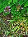 Allium cristophii 001.JPG