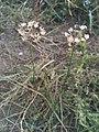 Allium rubens 24914736.jpg