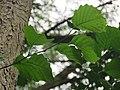 Alnus glutinosa 2 - crna jova.jpg