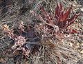 Aloe chabaudii - Ribaue (9798433183).jpg