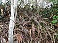 Aloe mossurilensis in its natural habitat (9504296816).jpg