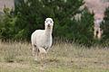 Alpaca (6741694497).jpg