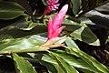 Alpinia purpurata 10zz.jpg