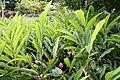 Alpinia purpurata 45zz.jpg