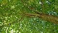Amaliaboom in Gouda (03) Detail van de lindeboom.jpg