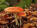 Amanita muscaria (1) (49147237918).jpg