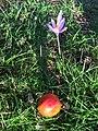 Amanita muscaria (23285615405).jpg
