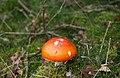 Amanita muscaria (8071817746).jpg
