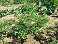 Amaranthus albus sl51.jpg