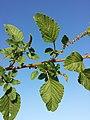 Amaranthus viridis sl9.jpg