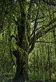 Amazing trees located in the Volcanoes Park, Rwanda.jpg