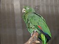 Amazona farinosa -Kobe Oji Zoo -Japan-6a.jpg