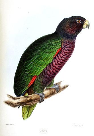 Wildlife of Dominica - Sisserou parrot
