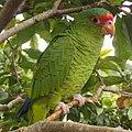 Amazona pretrei -Rio Grande do Sul -Brazil-8e-2c.jpg