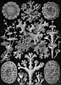 Americana 1920 Lichens.jpg