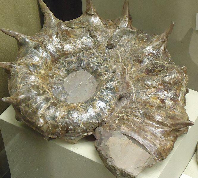 File:Ammonite11.jpg