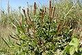 Amorpha fruticosa, Torroella de Montgrí 01.jpg