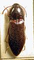 Ampedus nigrinus.jpg